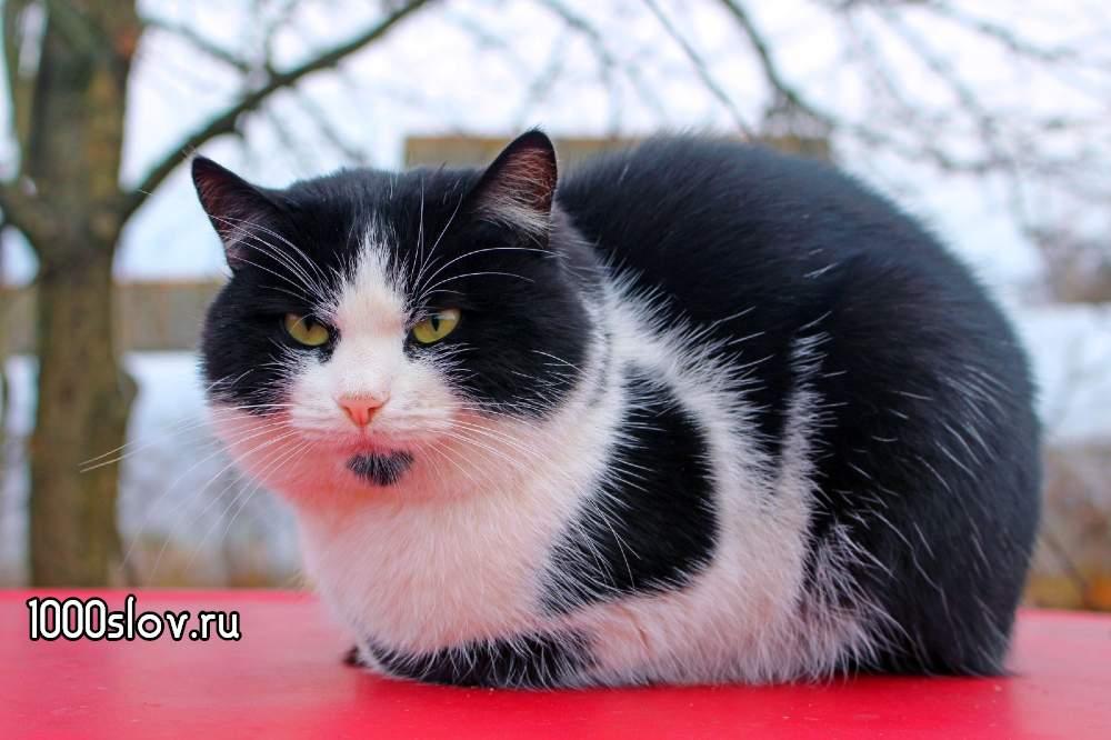 Красивый черно-белый кот